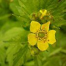 Tahoe Wildflower by Aaron Baker