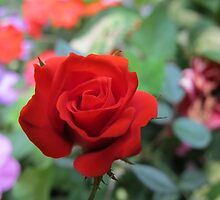 Red Rose Solitaire by MarianBendeth