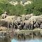 Breeding herd at petes pond with little ones  by jozi1