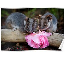 """Malu & Kitten"" Ringtail Possums Poster"