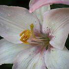 Summer Lilies by DanM5150