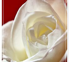 White Rose  by Aj Finan