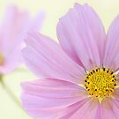 Pink Cosmos by Mandy Disher