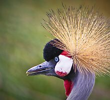 Grey Crowned Crane  by jdmphotography