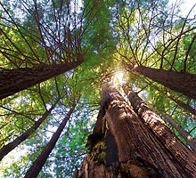 Coastal Redwoods by John N.  Stewart