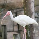 White Ibis by Missy Yoder