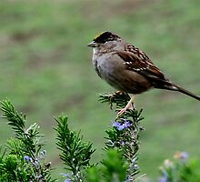 Golden Topped Sparrow by LynnL