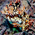 Serpent nudibranch : Bornella anguilla by Deb Aston