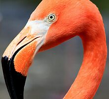Flamingo by DutchLumix