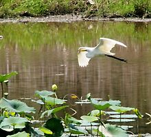 Great White Egret by Fojo