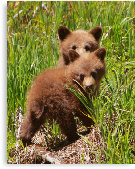 Black Bear Cubs by naturalnomad
