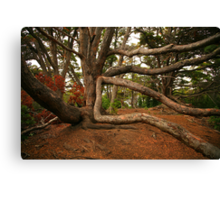 Ancient Forest - Antarctic Beech Canvas Print
