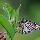 Monarch on Milkweed by naturalnomad