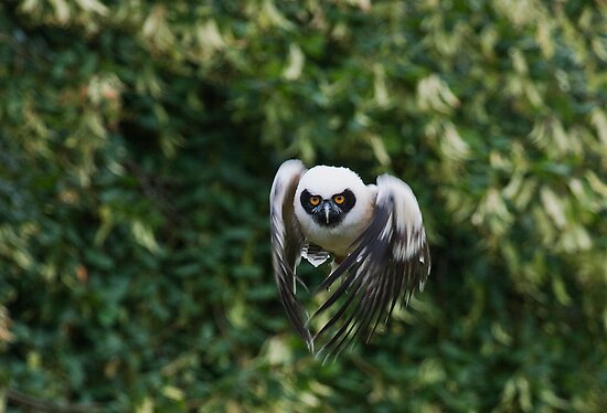 Spectacled Owl (Pulsatrix perspicillata) by Elaine123
