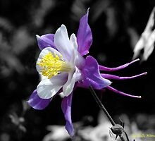 Columbine by Holly Werner