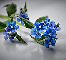 Borage by Karen Martin