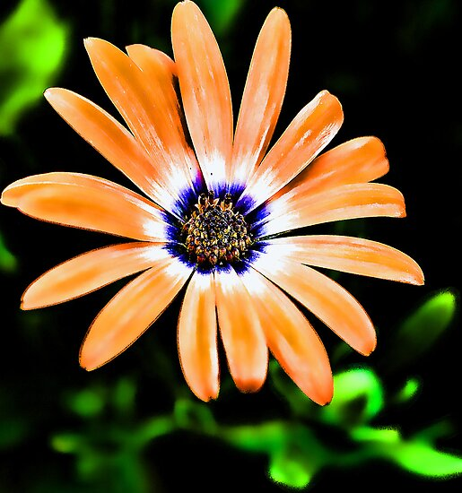 -Orange Symphony African Daisy by T.J. Martin