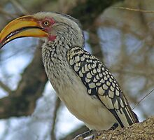 Yellow billed hornbill by jozi1