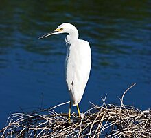 SNOWY EGRET by TomBaumker
