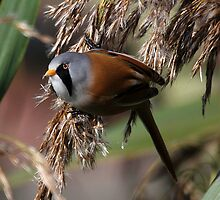 Bearded Tit 2 ( Panurus biarmicus ) by Norfolkimages
