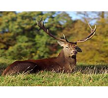 Lop Ears - Red Deer Photographic Print