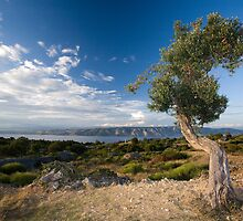 Olive Tree by Aleksandar Topalovic