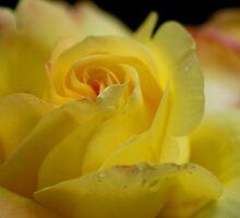 Yellow Rose by Sandra Cockayne