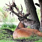 Red deer stag (cervus elaphus) in velvet by Alan Mattison IPA