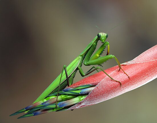 Mantis religiosa by jimmy hoffman