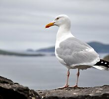 Sea Gull by Pat Herlihy