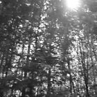 sunlight through the trees-b&w by cortypants
