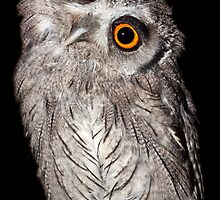 White faced Scops Owl sizing me up by Shaun Whiteman