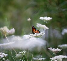 Viceroy butterfly on Queens Ann Lace by jamie7378