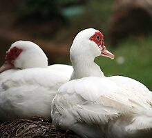 Sitting Ducks by rickvohra