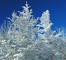 Snow Blasted Trees by C David Cook