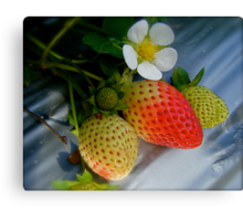 The Strawberry Stage. Canvas Print