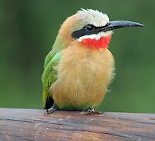 White fronted bee-eater by jozi1