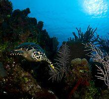 Hawksbill Turtle by tkrebs
