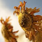 Last Breath of Summer Sunflowers by kelleygirl