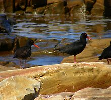 SA Oyster Catchers by IngridSonja