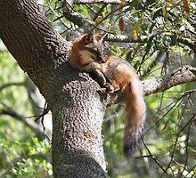 Grey Fox in a Tree by Paulette1021