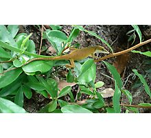 August Anole Photographic Print