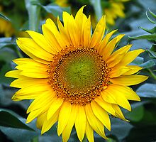 Plant Sunflower by RajeevKashyap