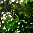 Black Butterfly  by cookarelli