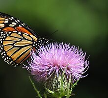 Monarch on thistle by mltrue