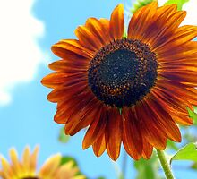 Autumn Burst Sunflower by kelleygirl