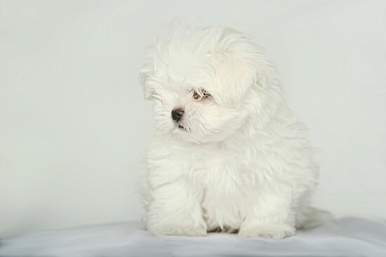 Maltese Puppy by Susanne Correa