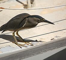 Striated Heron by Melissa  Whitby
