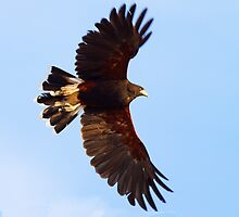 081410 Harris Hawk by Marvin Collins