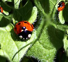 Ladybirds by Innpictime